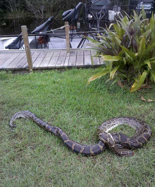pythons in everglades. A headless burmese python at