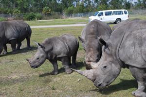 lion country safari rhinoceros