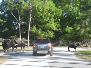 lion country safari water buffalo chevy equinox