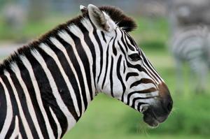 lion country safari zebra