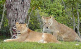 Lions at the Miami Zoo
